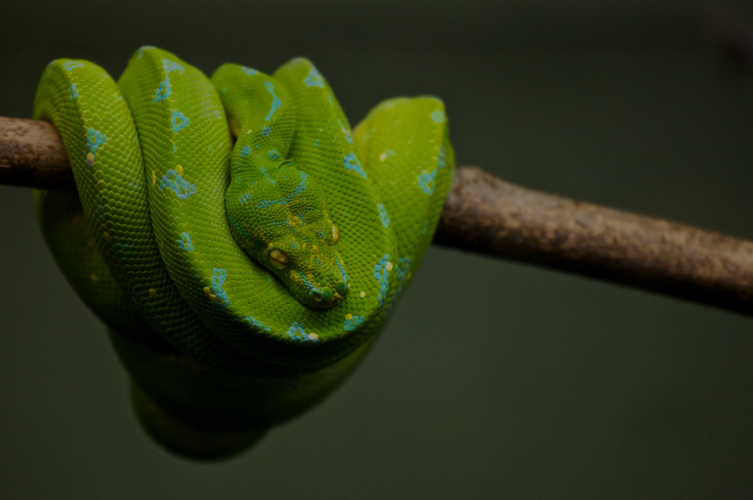 Python snake reptile branch